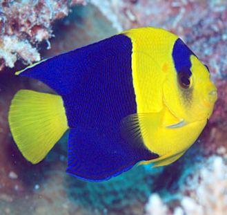 Bicolor pygmy Angel