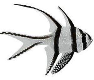 Apogon