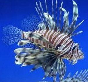 Scopenidi e pesci palla
